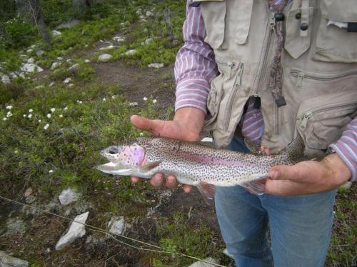 Rainbow Trout Flyfishing